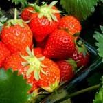 静岡県でイチゴ狩りを100%楽しむ為の10のこと