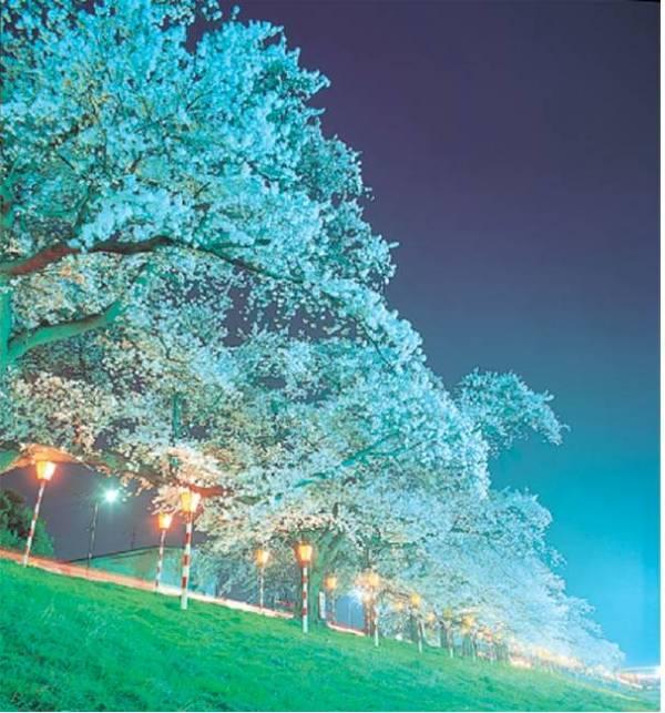 宮城県のイベント情報④一面の桜がロマンチック!おおがわら桜まつり