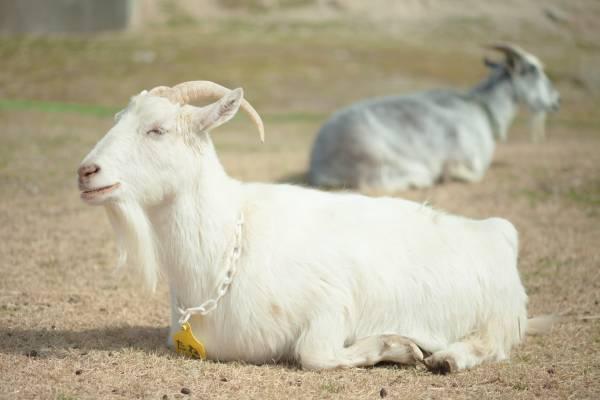 沖縄県ゲテモノ名物⑥臭いがすごいです、山羊の血炒め(チーイリチー)