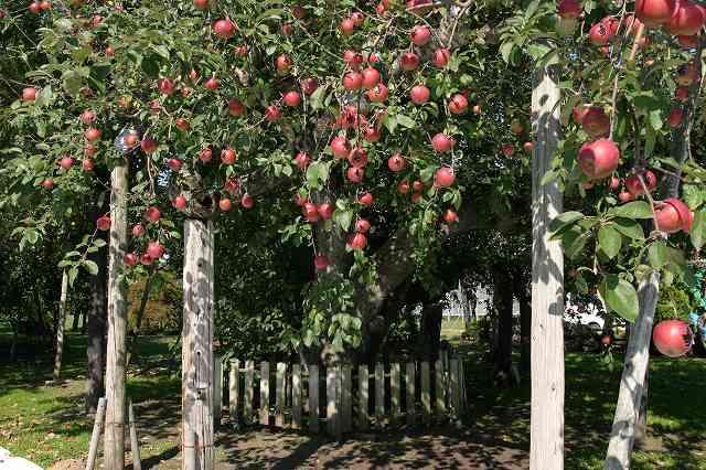 青森県パワースポットランキング⑦自然のパワーが詰まった果実「日本最古のりんごの木」