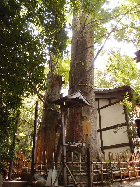 ⑦樹齢600年以上!川越氷川神社の御神木