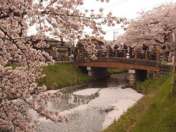 ⑧【季節行事・春】川越氷川神社の裏が桜の名所に