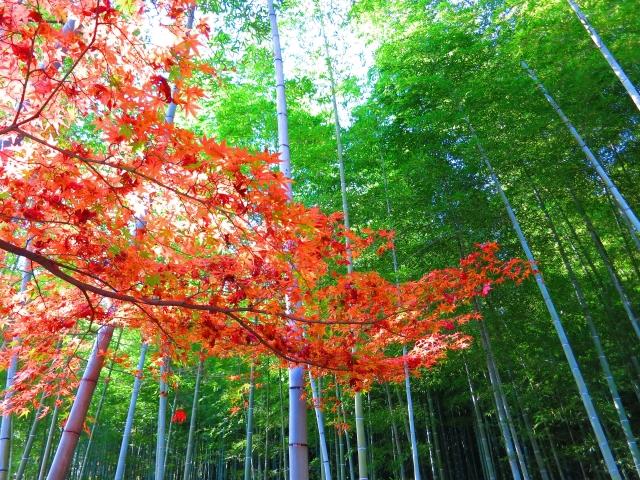 竹林の道 紅葉