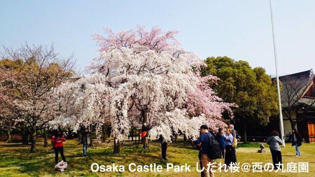 大阪府の桜の名所&見ごろ時期①天守閣とともにダイナミックに!大阪城公園